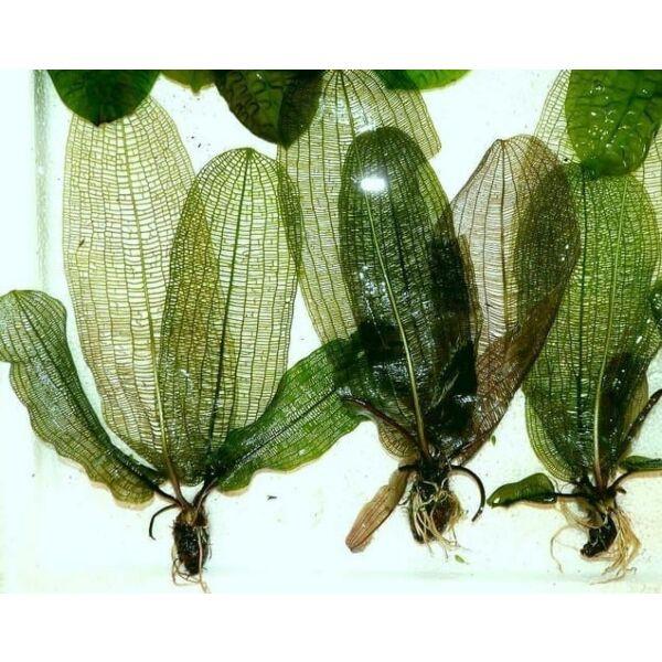 Madagascar Laceleaf (Aponogeton madagascariensis)
