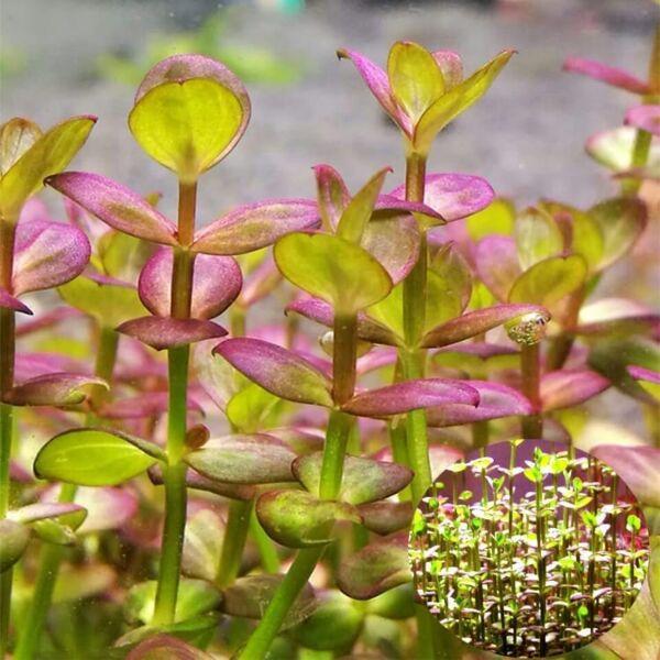 Lindernia sp. 'India' (Indian lindernia)