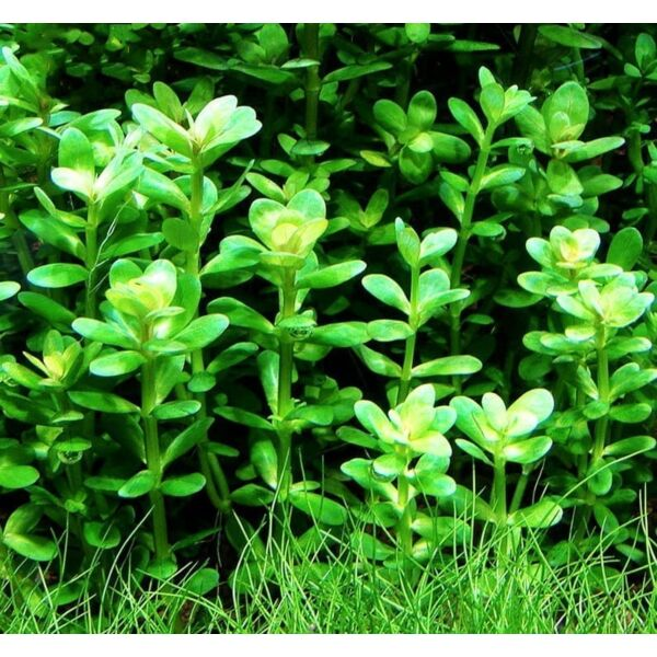 Indian Toothcup (Rotala indica) x 3 Stems