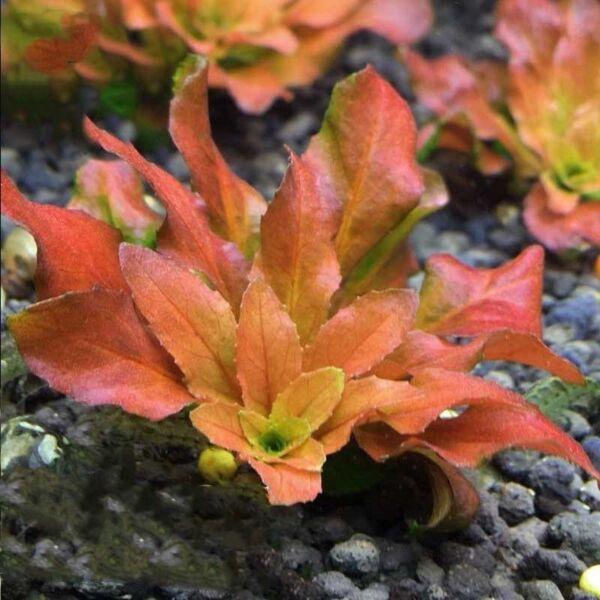 Ludwigia Pilosa (Ludwigia sphaerocarpa)