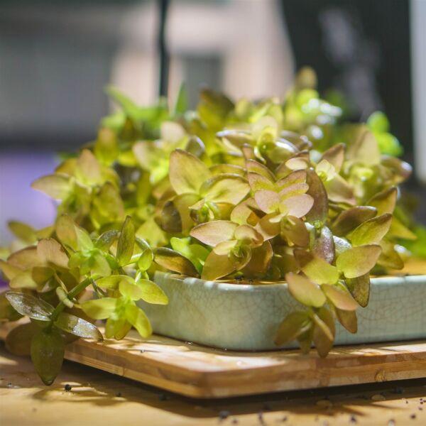 Mint Bacopa (Bacopa caroliniana)