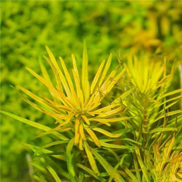 Ludwigia Cuba (Ludwigia inclinata var. verticillata 'Cuba')