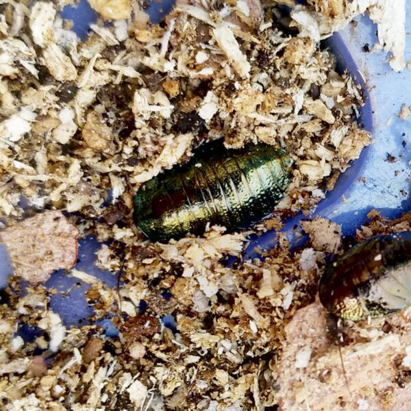 Asian Emerald Roach (Pseudoglomeris beybienkoi)