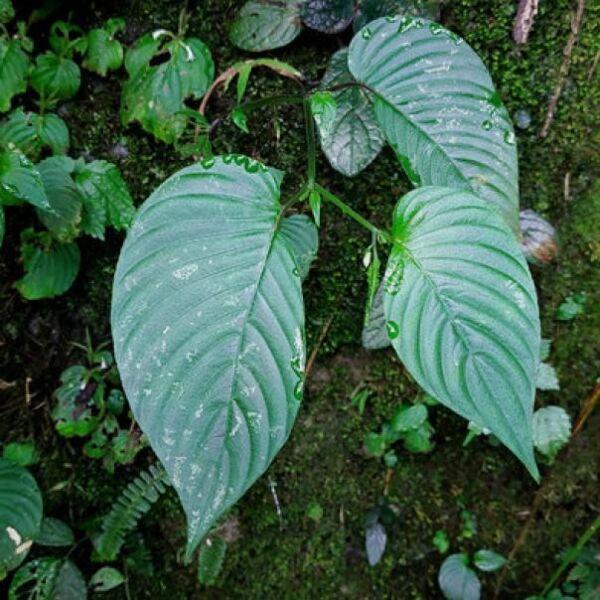Rhynchoglossum obliquum