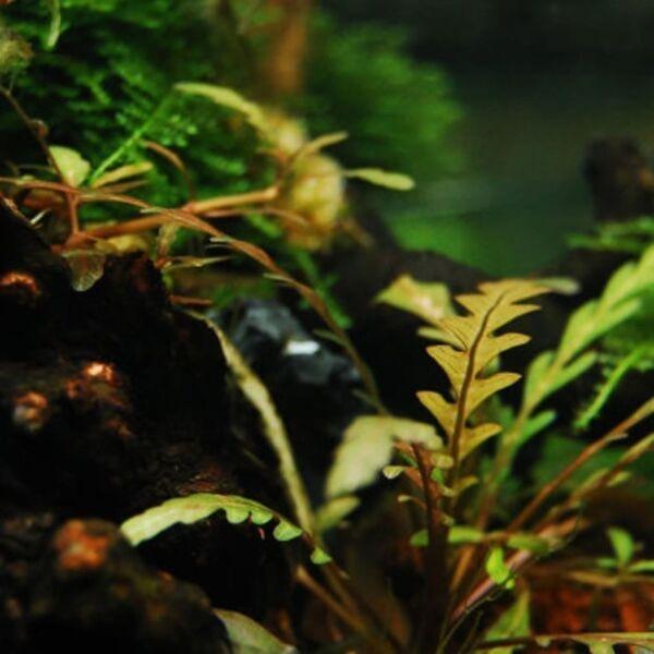 Fern Hygrophila (Hygrophila pinnatifida)