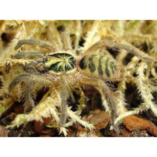 Trinidad Olive Tarantula (Holothele incei)