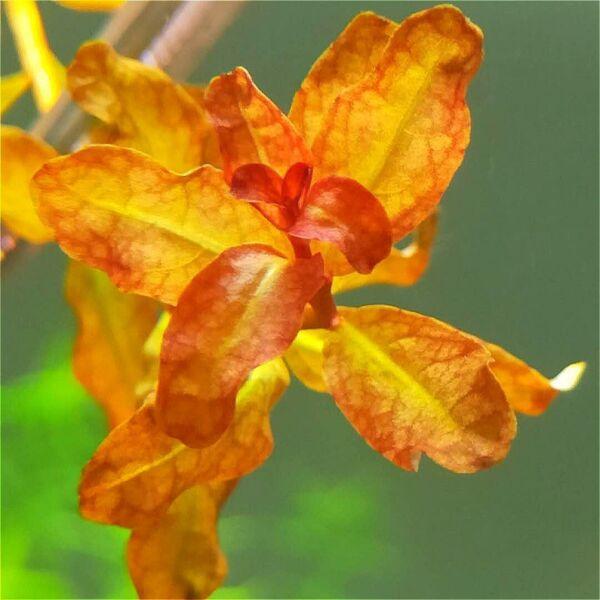 Ludwigia Guinea (Ludwigia senegalensis)