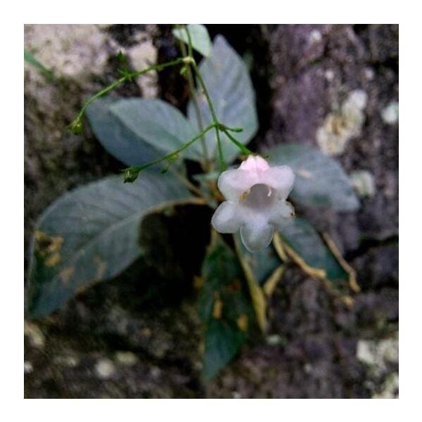 Paraboea martinii ( Levl. ) Burtt