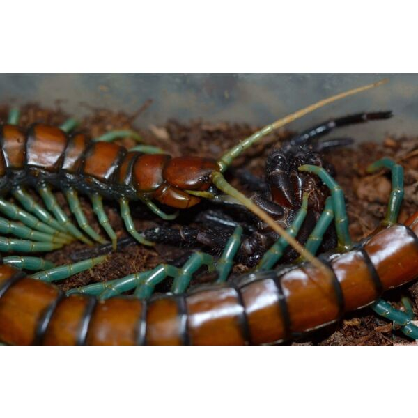 Chinese Mint legs Centipede (Scolopendra sp.)
