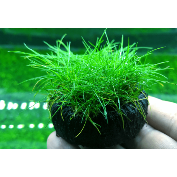 Dwarf  Hairgrass  (Eleocharis
