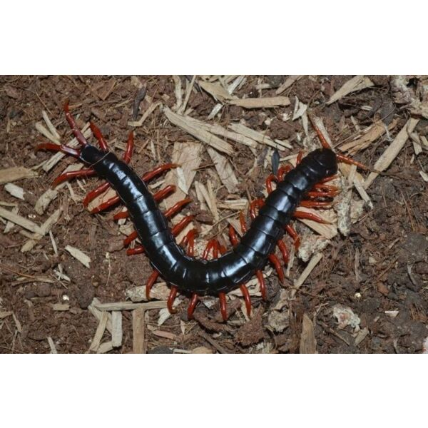 Laos Black&Red legs Centipede (Scolopendra subspinipes)