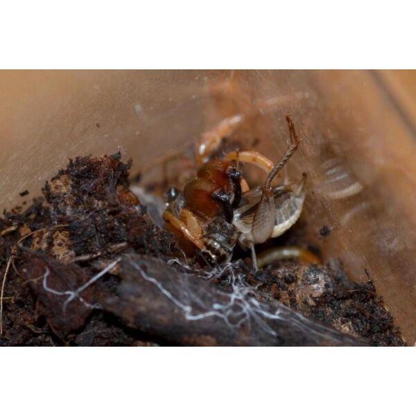Orange Purse Web Spider (Calommata signata)