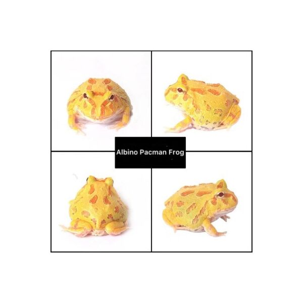 Albino Pacman Frog (Ceratophrys cranwelli)