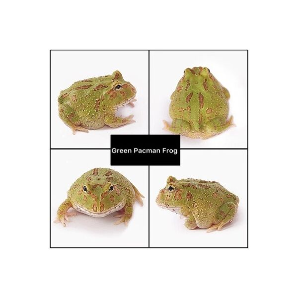 Green Pacman Frog (Ceratophrys cranwelli)