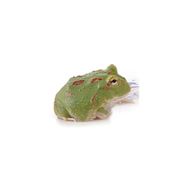 Green Emerald Pacman Frog (Ceratophrys cranwelli)
