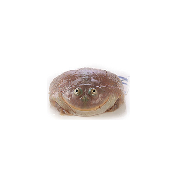 Budgett's Frog (Lepidobatrachus laevis)