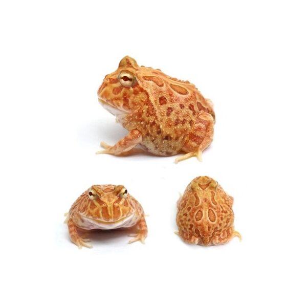 Pumpkin Pacman Frog (Ceratophrys cranwelli)