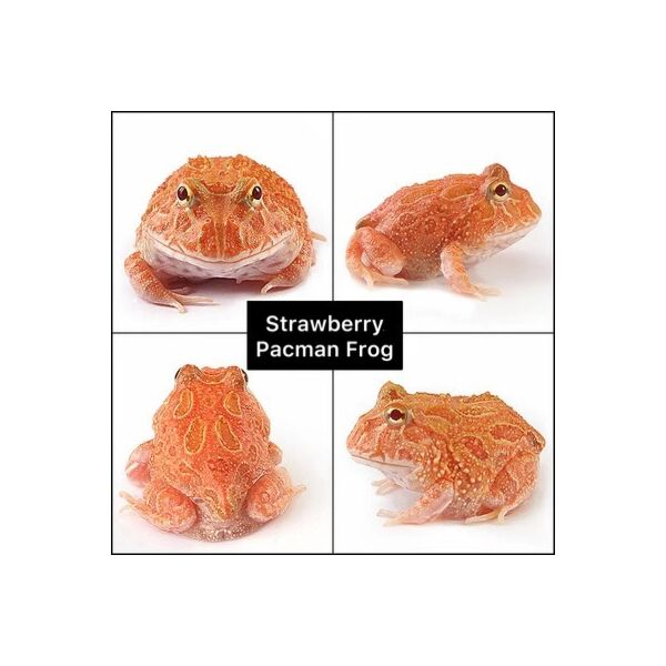 Strawberry Pacman Frog (Ceratophrys cranwelli)