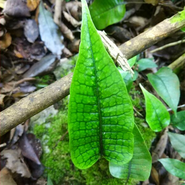 Neolepisorus sp. (Scales)