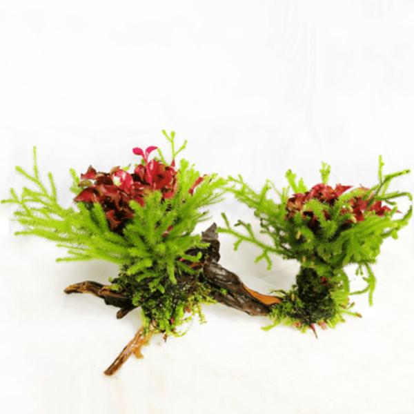 Alternanthera Bettzickiana Red & Riccia Fluitans on Driftwood
