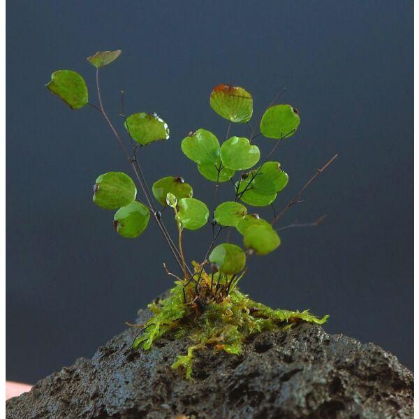 Micro Fern (Adiantum mariesii )