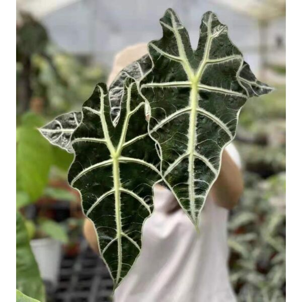 African Mask Plant ( Alocasia ' Polly ' )