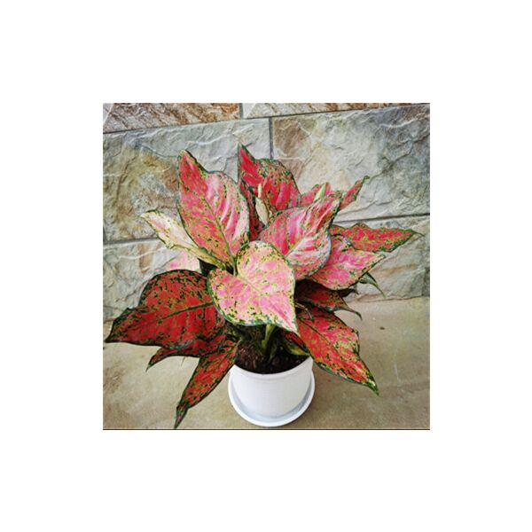 Aglaonema ' Red valentine '