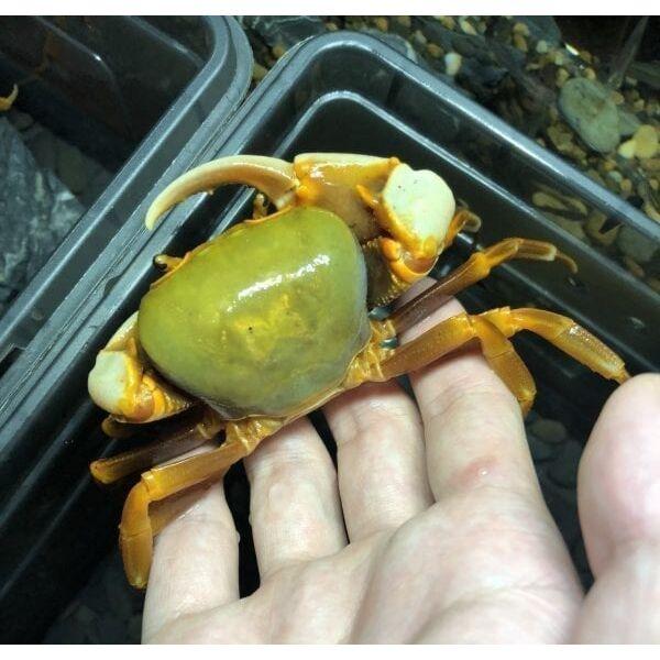 Green Warrior Crab Zhuhai (Nanhaipotamon guangdongens)