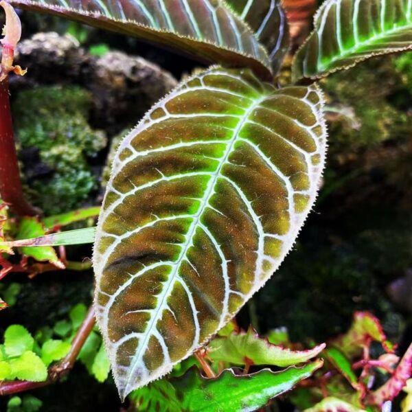 Ardisia gigantifolia