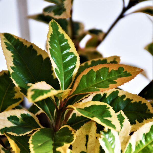 Marlberry (Ardisia japonica var. Variegata)