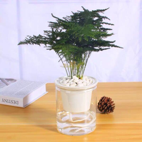 Asparagus Fern Plumosus ( Asparagus setaceus )