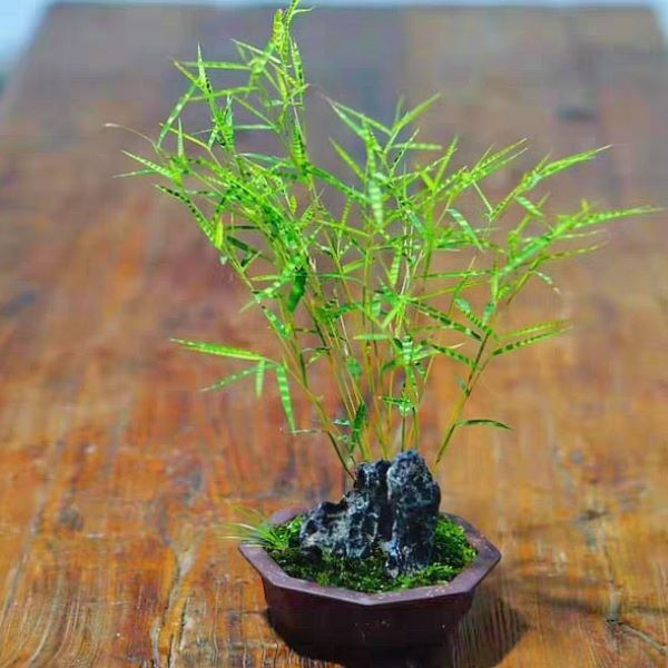 Tiger Stripe Bamboo  (Bambusoideae sp )