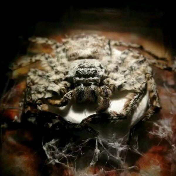 Ghost Hunter Spider (Barylestis saaristoi)