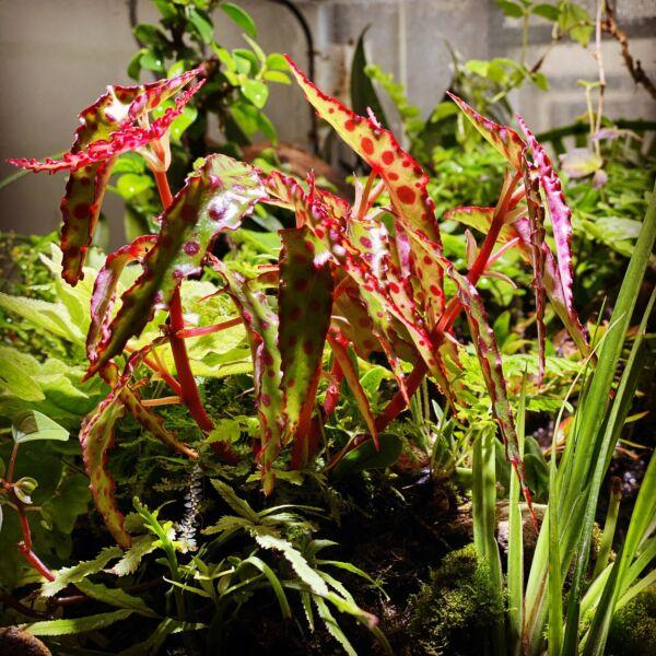 Pink Spotted Begonia ( Begonia amphioxus )