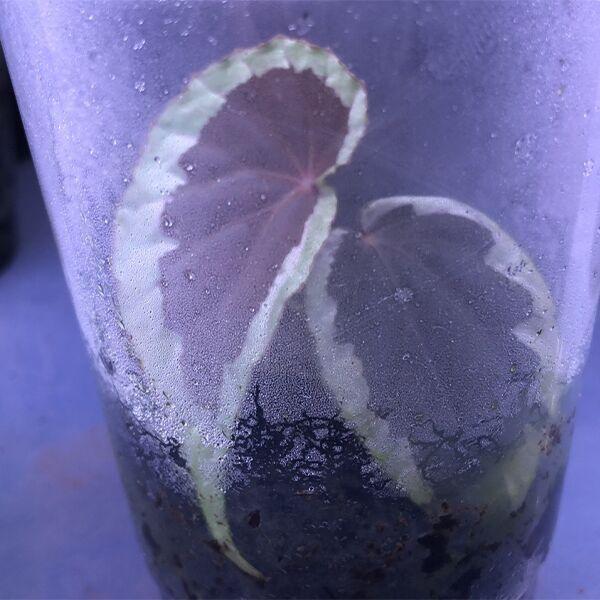 Begonia Baramensis