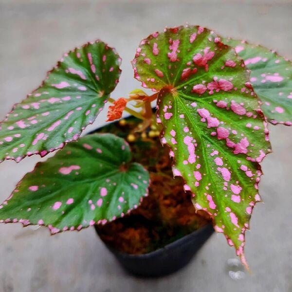 Begonia bengohensis