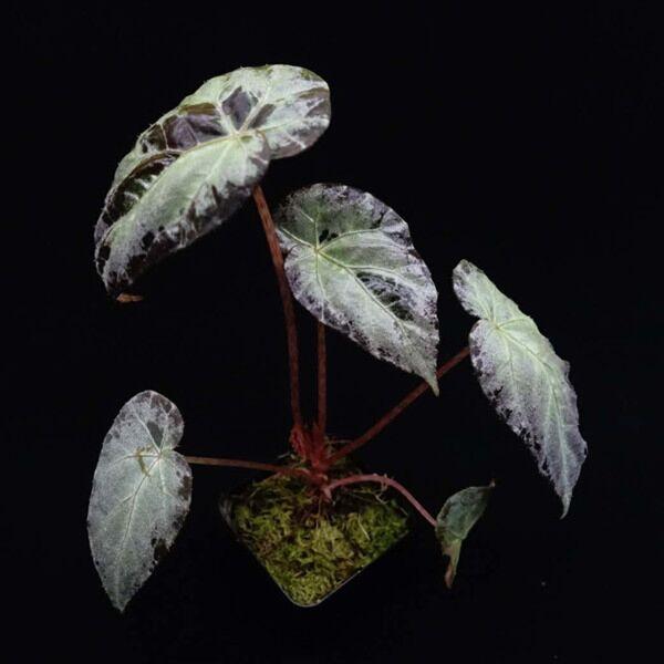 Begonia burkillii