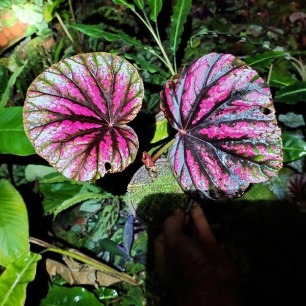 Begonia ' Candy Stripes '