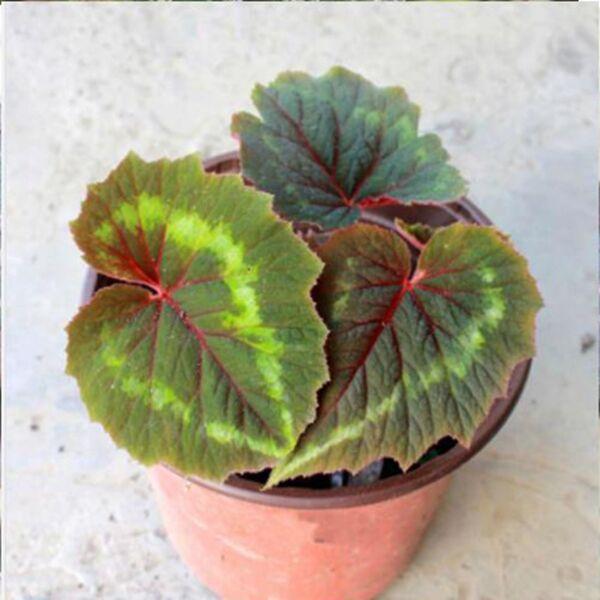 Begonia cathayana