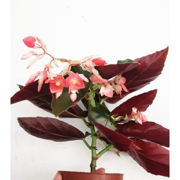 Begonia coccinea 'pinafore'