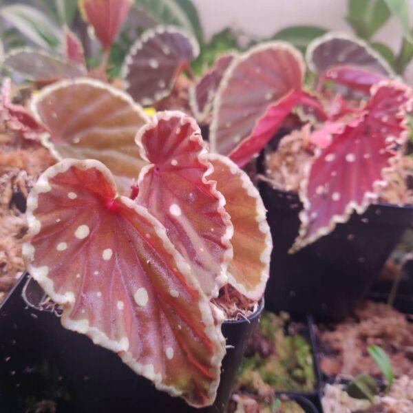 Begonia Darth Vader (Green Spots)
