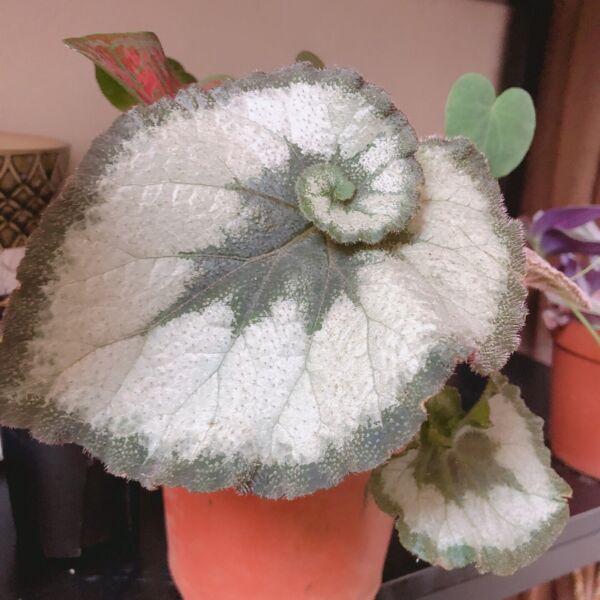 Begonia ' escargot '