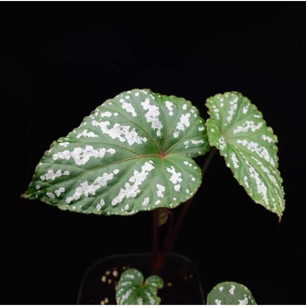 Begonia handelii Irmsch