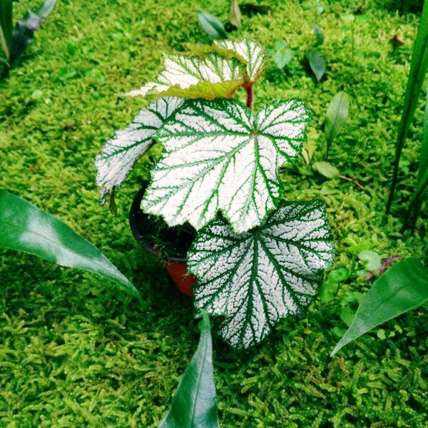 Begonia heracleifoniana