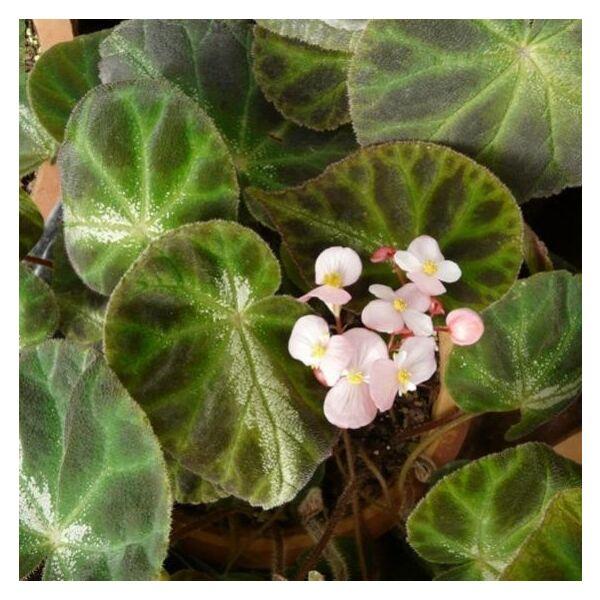 Begonia luochengensis
