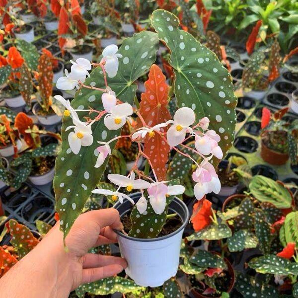 Begonia Wightii (Begonia maculata variegata)