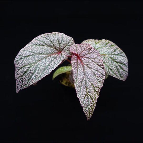 Begonia U062