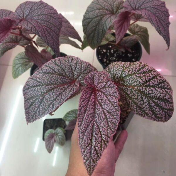 Begonia ' Maurice Amey '