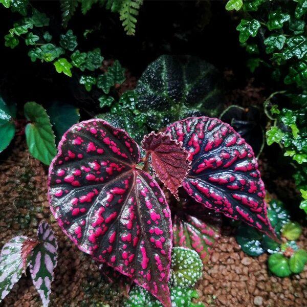 Begonia negrosensis