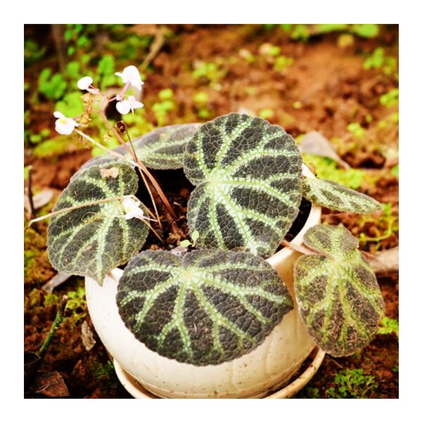 Begonia ningming